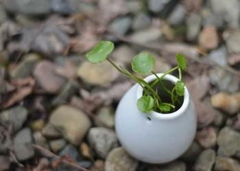 (园林技术)铜钱草的栽种技术方法和注意要点