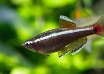 灯鱼是热带鱼吗?(观赏鱼专题)