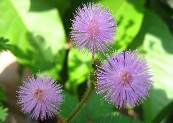 含羞草的栽種技術方法(花卉苗木)