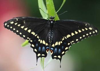 蝴蝶一生的成长过程(生物科普知识)