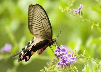 蝴蝶的生活习性(生物科普知识)