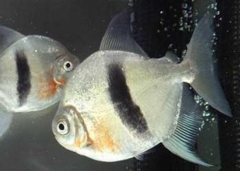 虎魚和什么魚混養?(觀賞魚知識)