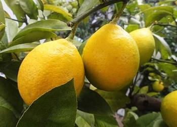 如何高效繁育檸檬樹?