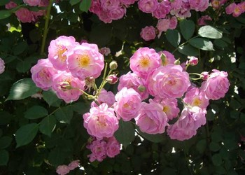 蔷薇种子如何种养?(花卉苗木)