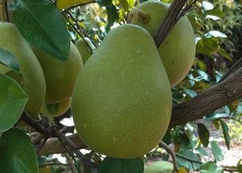 沙田柚一般什么時間成熟?