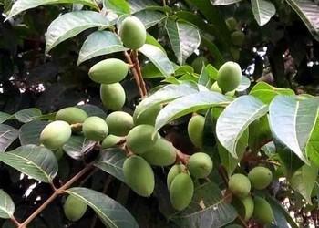 橄榄树繁育技术介绍