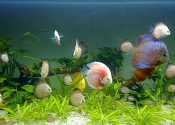 觀賞魚專題:神仙魚如何混養搭配?