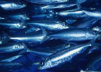 沙丁鱼的人工养殖可行吗?