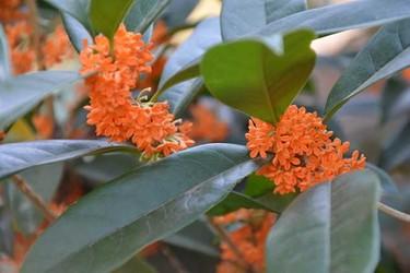 花木专题:桂花树移栽的最佳时间及方法