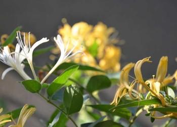 金银花什么时候开花?(中药生产专题)