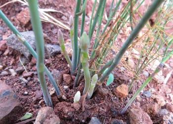 蘆筍種子如何播種和育苗?【蘆筍專題】