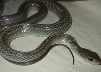 乌梢蛇繁育技术(特养技术)