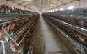 (養雞創業)現代化養雞場成本和設備