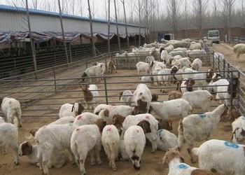 养羊专题:肉羊的人工授精技术