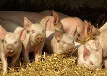母豬產后護理之管理要點