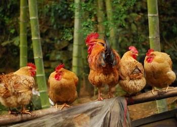 養雞專題:2018年土雞市場價格行情預測