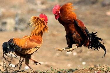 打斗雞的飼養技術與注意事項
