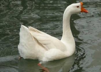 產蛋鵝的飼料配方(家禽養殖科技)