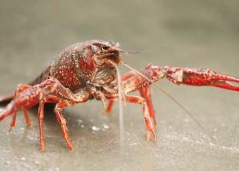 養龍蝦:龍蝦的養護養殖技術