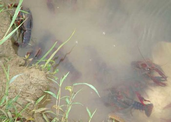 龍蝦養殖池消毒方法(龍蝦專題技術)