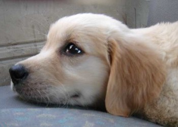 養寵物專題:狗狗發燒怎么處理好?