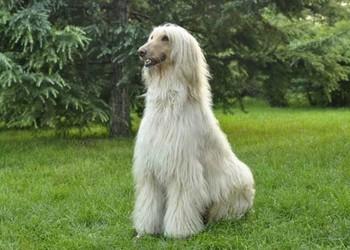 养宠物知识:阿富汗猎犬怎么训练?