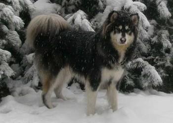 寵物狗:阿拉斯加雪橇犬好養嗎?