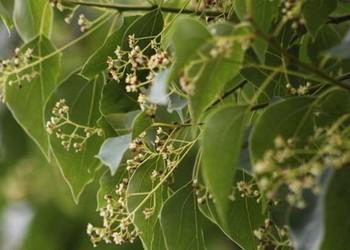 (花木園藝)香樟樹能驅蚊嗎?