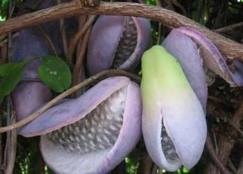 """[果樹知識]""""野香蕉""""是野果還是香蕉?"""