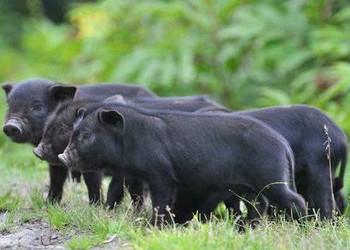 養豬品種專題:藏香豬的人工飼養技術(視頻)