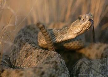 響尾蛇吃什么食物(生物特養知識)