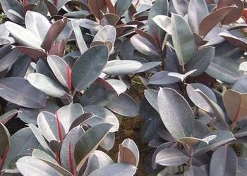 (花木园艺)橡皮树是什么树?