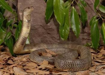 特種養殖知識:中華眼鏡蛇是什么蛇類?