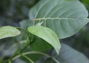 白楊樹有哪些特點?(園藝技術)
