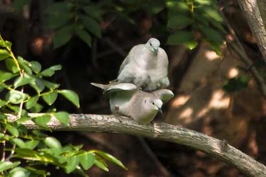 灰斑鳩吃什么食物?(生物特養知識)