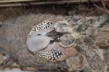 珠頸斑鳩是保護動物嗎?(生物特養知識)