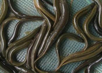 泥鰍繁殖的親鰍選擇與催產技術