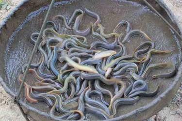 1個遠近聞名的泥鰍養殖能手-打造泥鰍養殖示范園!