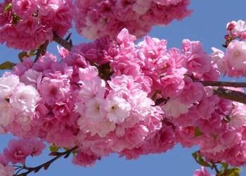 櫻花什么時候開?(園藝技術)