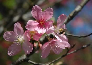 櫻花樹掉葉子如何處理解決?(園藝技術)