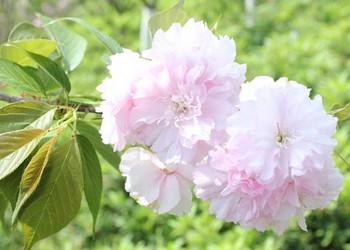 (园艺花卉)樱花的颜色有几种?