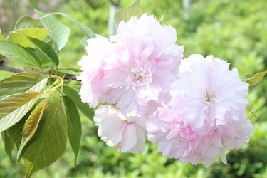 (園藝花卉)櫻花的顏色有幾種?