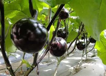 科普:黑番茄是轉基因而來的嗎?