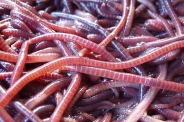 最简单的蚯蚓饲养办法(特养技术)