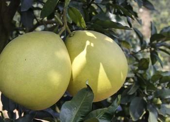小知識:為什么有的柚子是苦的?