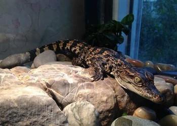 寵物鱷魚壽命多長?能長多重?