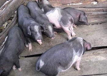 貴州良種豬:關嶺豬高效飼養技術[視頻]
