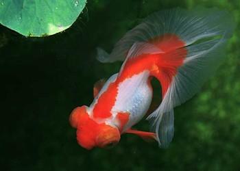 養觀賞魚答疑:金魚的尾巴爛了應該怎么辦?