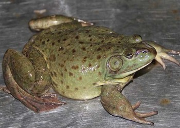 牛蛙飼養需要什么條件?【特種養殖創業資料】