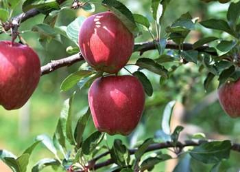如何防治苹果树黄叶病?